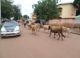 Haute Guinée: les agriculteurs affectés par la divagation des animaux…
