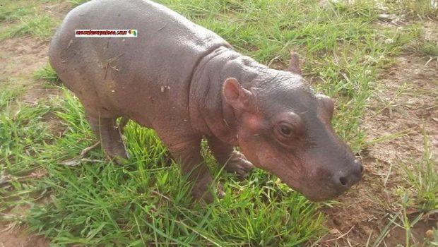 Insolite/Mandiana : un petit hippopotame capturé par des pécheurs, meurt avant d'être transféré vers un cours d'e