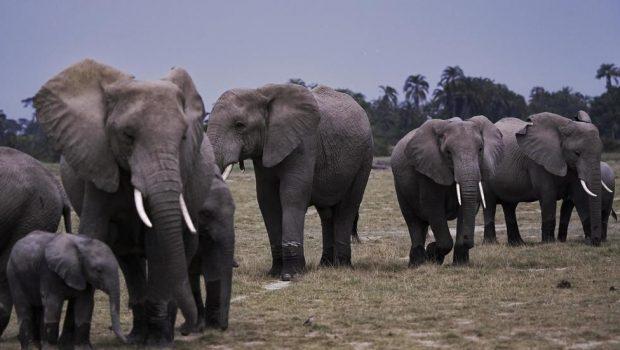 Le nombre d'éléphants a doublé en 30 ans au Kenya